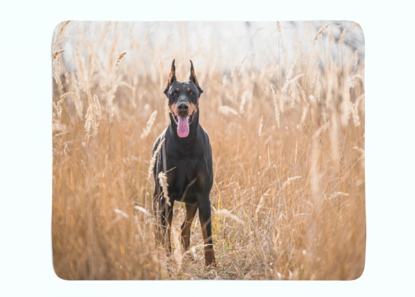 Fleecepeitto Doberman Pinscher in the Golden Grass