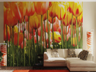 Fototapeet Tulips 360x254 cm