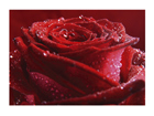 Fototapeet Proud red rose 400x280 cm