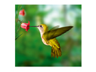 Fototapeet Yellow hummingbird 300x280 cm