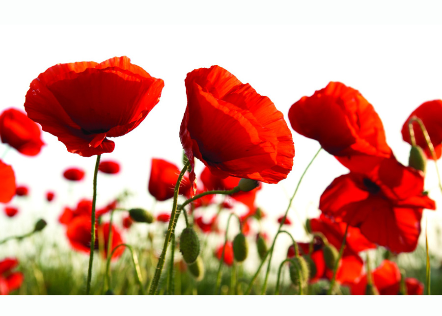 Kuvatapetti Red Poppies In The Field 416x254 cm