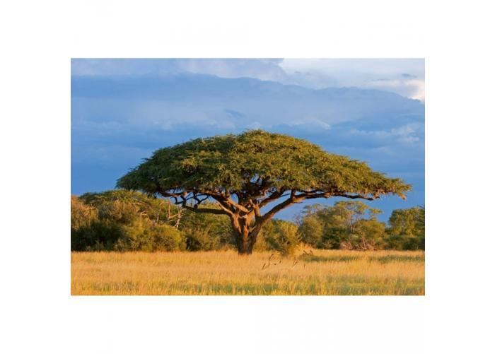 Fleece-kuvatapetti Acacia tree 375x250 cm