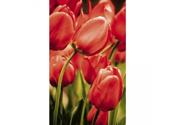Fleece kuvatapetti Red tulips 150x250 cm