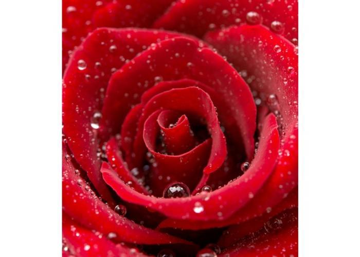 Fleece kuvatapetti Red rose 150x250 cm