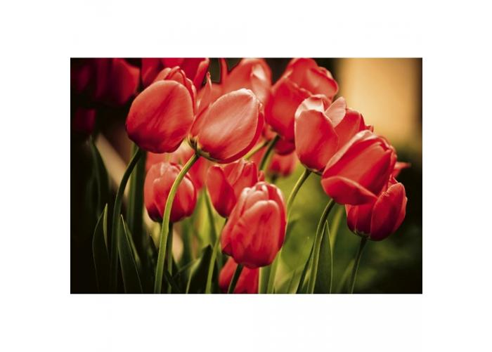 Fleece kuvatapetti Red tulips 375x250 cm