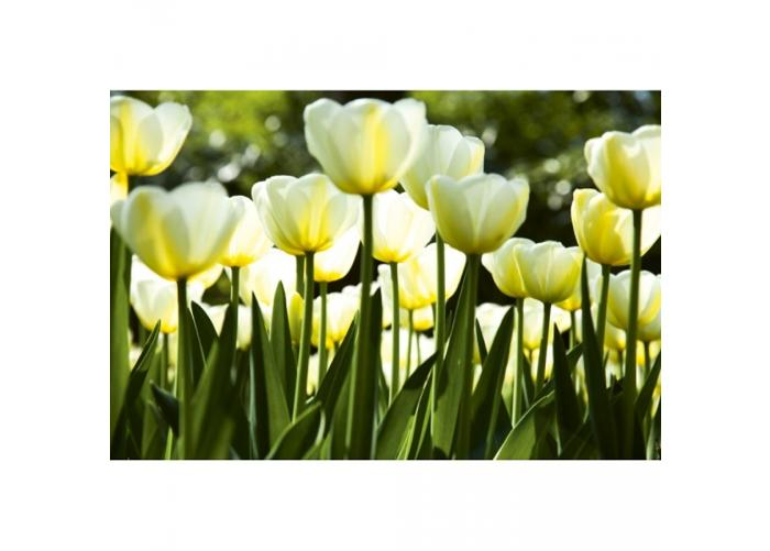 Fleece kuvatapetti White tulips 150x250 cm